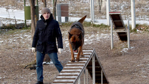 Special training ground for the dogs - A trained german shepherd dog running up Live Action