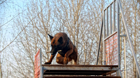 A german shepherd dog standing on the top of the stand and catching a stick Live Action