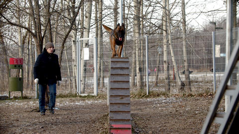 Dog training on the training ground outdoors - A german shepherd dog running up Live Action