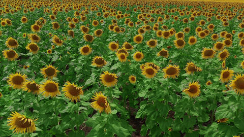 Aerial view. Flowering sunflowers. Natural agriculture. Field sunflowers Live Action
