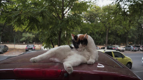 Mixed colored cat cleans itself by lifting its paw lying on the roof of the car Live Action