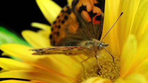 Butterfly On A Flower Macro Footage