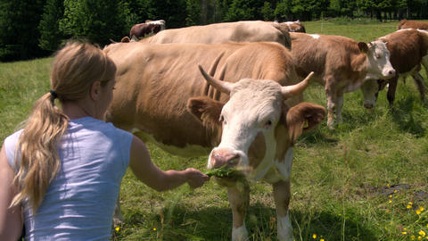 Young woman feeding cow while on pasture by giving it grass to eat Footage