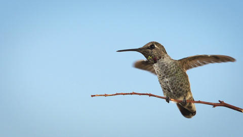 Hummingbird Slow Motion Footage