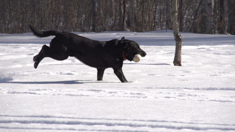 Dog Fetching Slow Motion Footage