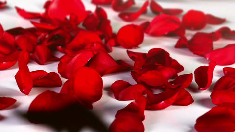 Red Rose Petals Falling Footage