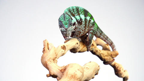 Chameleon Eating Slow Motion Live Action
