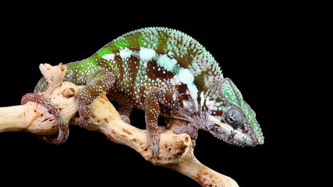 Chameleon Catch Insect Slow Motion Footage