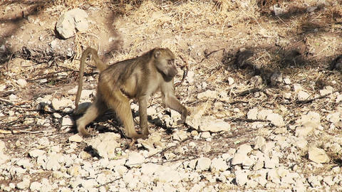 Baboons Walking Slow Motion Footage
