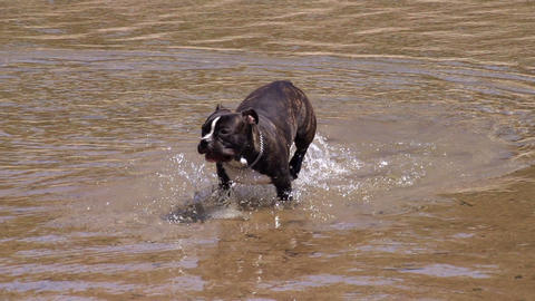 Dog Playing Water Slow Motion Footage
