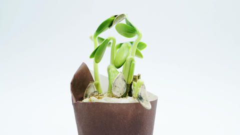 Small plants growing in pot, sprouts germination process isolated on white Live Action
