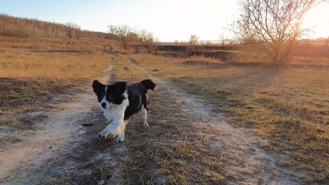 Idyllic country trail across a dry hay meadow and an overjoyed old dog fast running towards camera, Live Action
