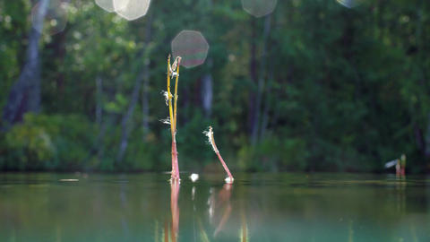 Underwater split-shot of water lobelia aquatic plant with withered flowers Live Action