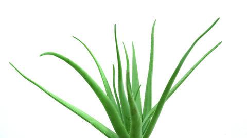 Aloe Vera plant rotated, natural organic renewal cosmetics, alternative medicine. Skin care concept. Live Action