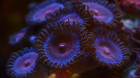 Close up miami vice zoa coral moving, 4k time lapse video Live Action