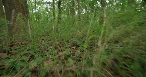 POV Animal Searching green forest, walking on a path in the green forest Live Action