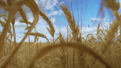 Wheat Field. Harvest concept. Field of golden wheat swaying. Nature landscape Live Action