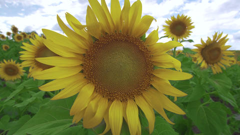 Flowers sunflower against the sky. Sunflower swaying in the wind Live Action