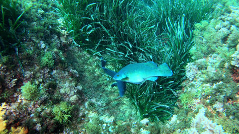 Marine life Reef fishes courtship Live Action