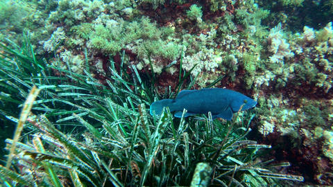 Blue reef fish swimming in a Mediterranean sea reef Live Action