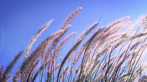 Grasses Blowing Slow Motion Footage