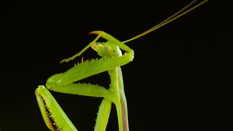 Macro Praying Mantis Cleaning Footage