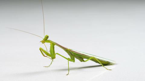 Macro Praying Mantis Cleaning Footage