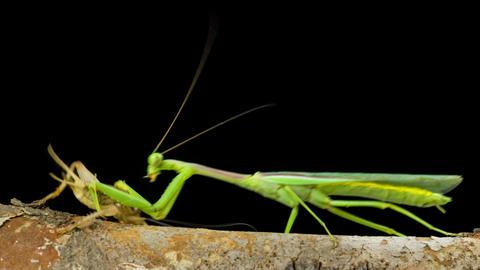 Praying Mantis Hunting Cricket Footage