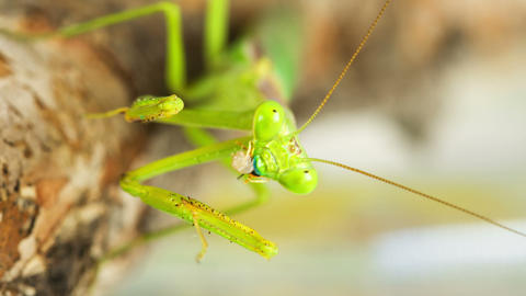 Praying Mantis Feeding On A Cricket Footage