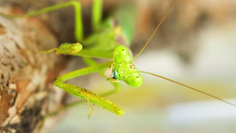 Praying Mantis Feeding On A Cricket Footage