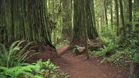 Walking Path Giant Redwood Trees Footage