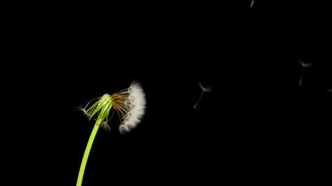 Dandelion Seeds Being Blown Footage