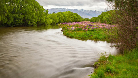 Lupine Flowers River New Zealand Landscape Time Lapse Footage