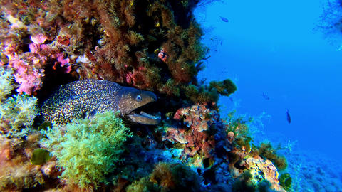 Wildlife underwater - Moray eel in a colourful reef Scuba diving in Majorca Spain Live Action