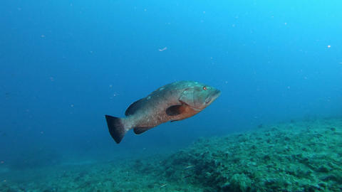 Alone grouper fish swimming close to the camera Live Action