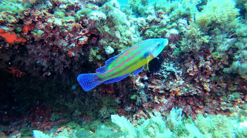 Nature underwater Colourful reef fish Live Action