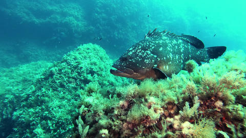 Grouper fish at the seabed - Underwater scene Scuba diving in Majorca Spain Live Action