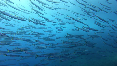 Underwater wildlife Big school of barracuda fish - Scuba diving in Majorca Spain Live Action