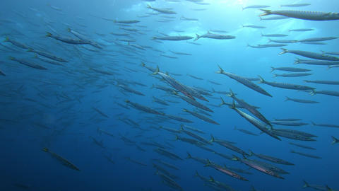 Wildlife underwater Very big school of barracuda fish Live Action