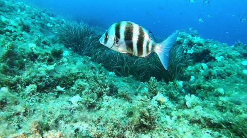 Underwater Imperial Bream fish swimming close to the camera - Meditarranean sea marine life Live Action