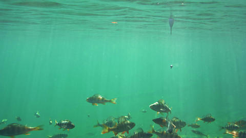 School of perch swimming around a hook with worm bait Live Action