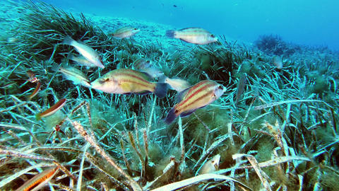 Underwater reef fishes in a green posidonia seaweed Live Action