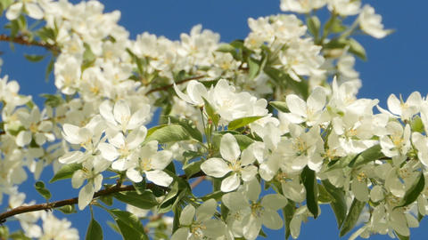many white flowers on the branches of the apple Live Action
