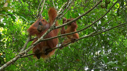 Orangutan female and cute baby in tropical rainforest, Sumatra, Indonesia Footage
