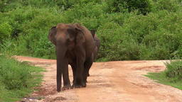 Asian elephant and cute baby walking in Udawalawe National Park, Sri Lanka Footage