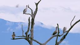 Slow motion. Pelicans grooming on dry tree branches. Udawalawe, Sri Lanka Footage