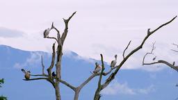 Pelicans grooming themselves on dry tree. Udawalawe National Park, Sri Lanka Footage