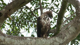 Crested Hawk Eagle sitting on tree branch in Udawalawe, Sri Lanka Footage