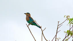 Indian Roller bird perched on tree in Udawalawe national Park, Sri Lanka Footage
