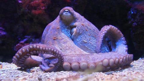 Octopus Close up in Aquarium Footage